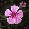 Flower, anon. (SG) (32903860011).jpg