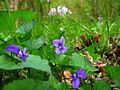 Flower-forest-floor - West Virginia - ForestWander.jpg