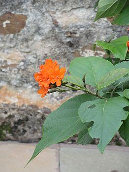 Flower at mount abu.jpg