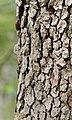 Flowering Dogwood Cornus florida Bark.JPG