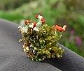 Flowering Lichen. Cladonia polydactyla (39405343971).jpg