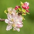 Flowers of Malus domestica (5).jpg