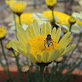 Fly on a yellow flower, Sandy, Bedfordshire (8915591750).jpg