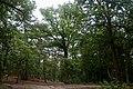 Forêt de Fontainebleau-RGFHS-Chêne-20170702.jpg