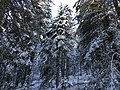Forêt de résineux sous la neige.jpg