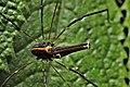 Forsteropsalis pureora male.jpg