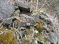 Fosterella penduliflora (JP) 06-0051 13.jpg