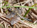 Four-spotted Chaser. Libellula quadrimaculata - Flickr - gailhampshire (3).jpg