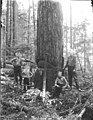 Four men with springboards, crosscut saw and felling axes notching tree, Snohomish County, ca 1911 (PICKETT 59).jpeg