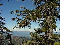 Foxtail Pine.jpg