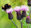 Foxypar4 - Thistle with bee (by).jpg
