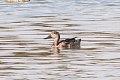Freckled Duck (Stictonetta naevosa) (8079566780).jpg
