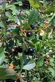Fruit qui ressemble à des cerises de Virginie mais sans pépin (4864220297).jpg