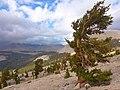 Fuchsschwanz-Kiefer, Sequoia Nationalpark.jpg