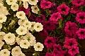Fucsia White Petunias (211802107).jpeg