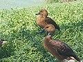 Fulvous Whistling Ducks.jpg