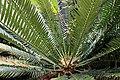 Funchal, Monte - Encephalartos altensteinii (Brotpalmfarn) IMG 1936.JPG
