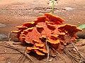 Fungi 6 REFON1.JPG