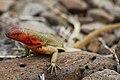 Galápagos lava lizard (4228225361).jpg