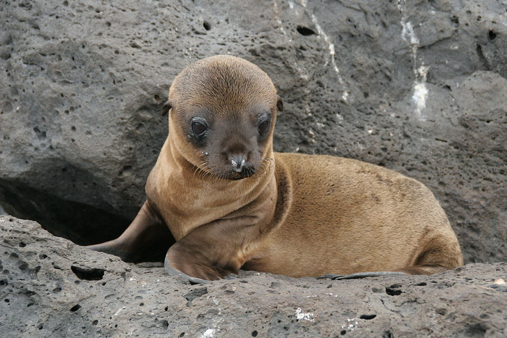 File:Galapagos Islands Baby Sea Lion.jpg - Wikimedia Commons