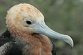 Galapagos Juvenile Frigate Bird.jpg