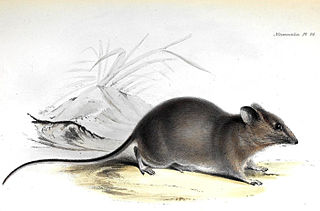 <i>Aegialomys galapagoensis</i> species of mammal