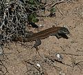 Gallotia atlantica (Lagarto atlántico - Atlantic Lizard) - Flickr - S. Rae (1).jpg