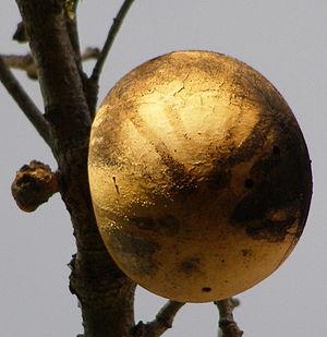 Quercus garryana - Gall on Garry oak, Sonoma County