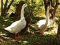 Gansos no Kikaku-Ji - panoramio.jpg