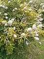 Gardenia ternifolia ssp jovis-tonantis KirstenboshBotGard09292010C.JPG