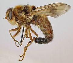 klæg insekt