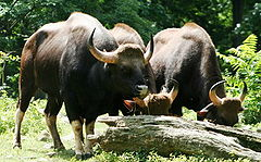 Gaur at the Bronx Zoo.jpg