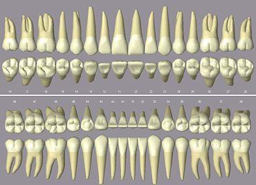 שיני אדם