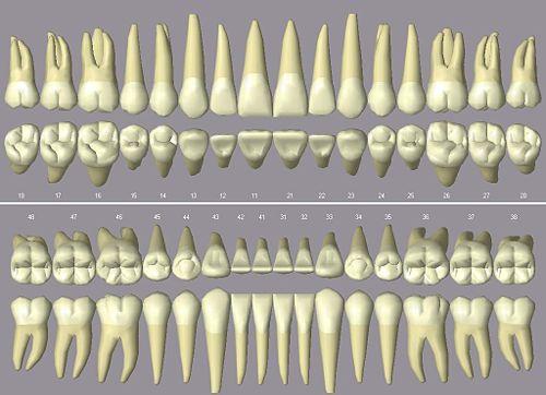 Zahnwurzel - WikiVisually