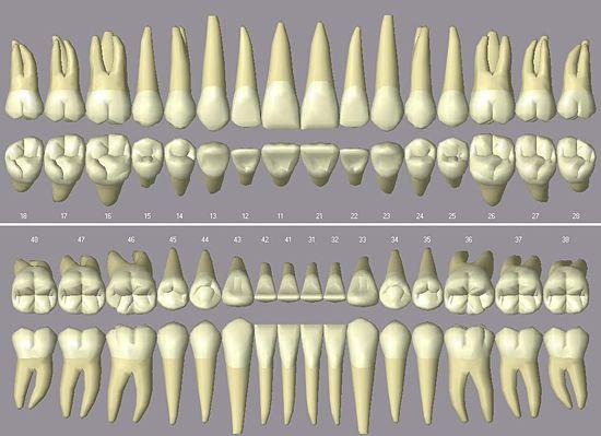 Das menschliche Gebiss in der Zahnmanagementsoftware Open Dental