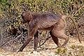 Gelada (Theropithecus gelada gelada) female walking.jpg