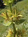 Gelber Enzian (Gentiana lutea) - Brecherspitz (9965617844).jpg
