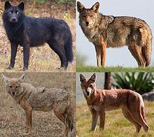Genus canis.jpg