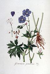 Pakost lúčny (Geranium pratense)