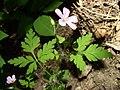 Geranium robertianum habitus 1 AB.jpg