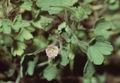 Geranium rotundifolium eF.jpg