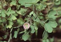 Geranium rotundifolium eF