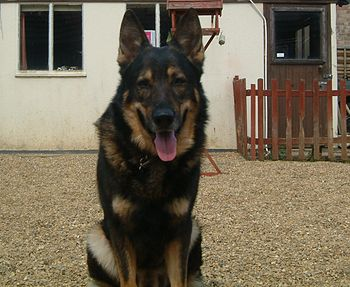 A sable/black German Shepherd dog.