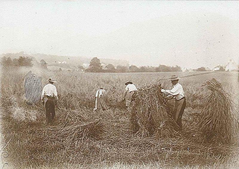 File:Getreideernte 20.7.1900.JPG