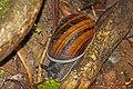 Giant African land snail (Achatina fulica) Mantadia.jpg