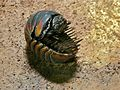 Giant Pill Millipede (Zephroniidae) (8409211384).jpg