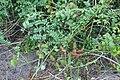 Gila4(Caesalpinia Bonducella).jpg