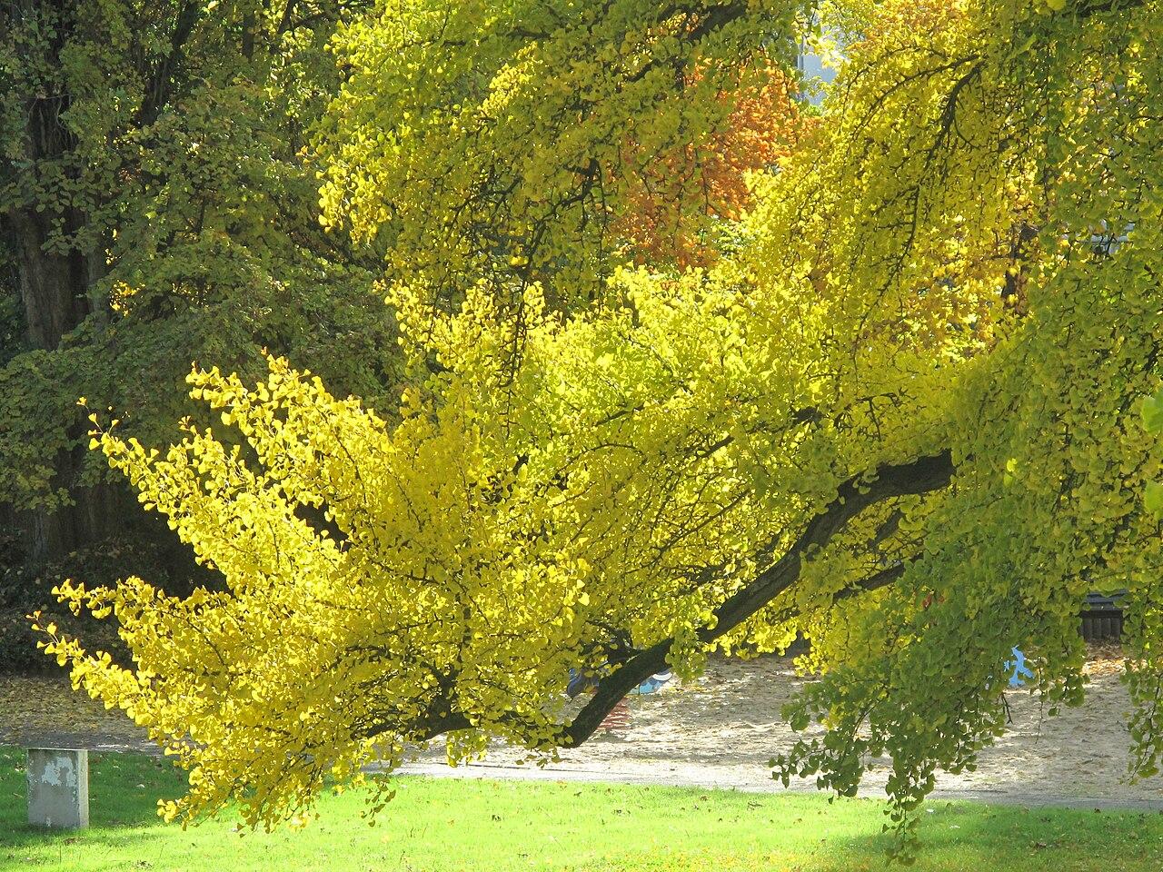 Ramas de Ginkgo biloba, en el parque Aulnay, Vaires-sur-Marne (Francia). /Imagen: Wikipedia.