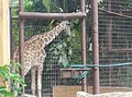 Giraffe in Zoo Negara Malaysia (16).jpg