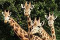 Giraffes in Zoo Olomouc.jpg